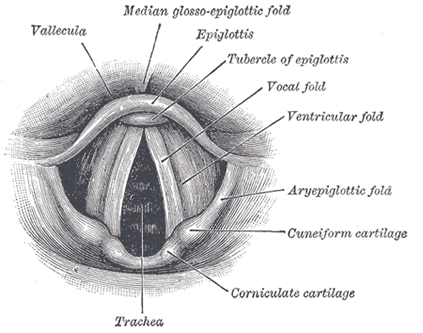 figure 4  laryngoscopic (dorsal) view of the vocal folds and interior of  the human larynx