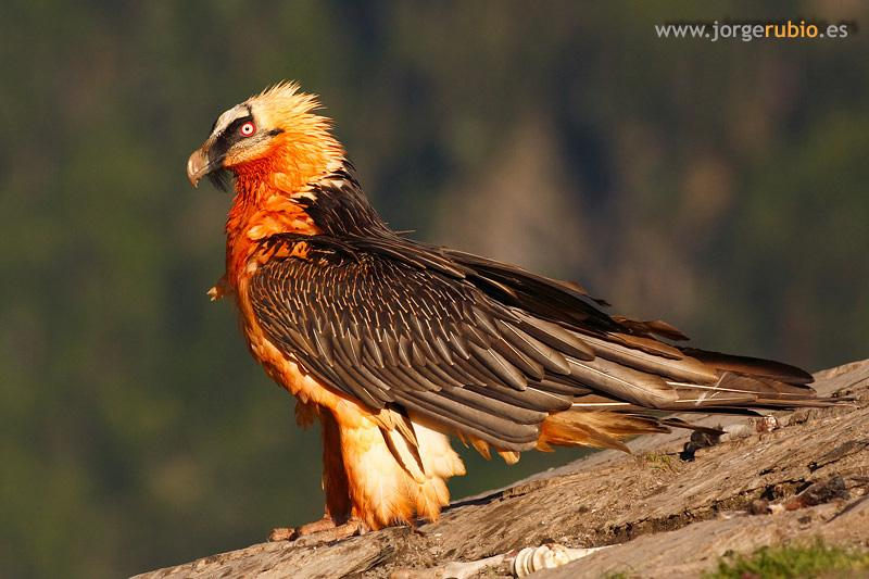 bearded vulture - photo #32