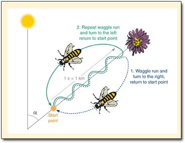 Insects: How do bees learn to 'perform' such complex ...