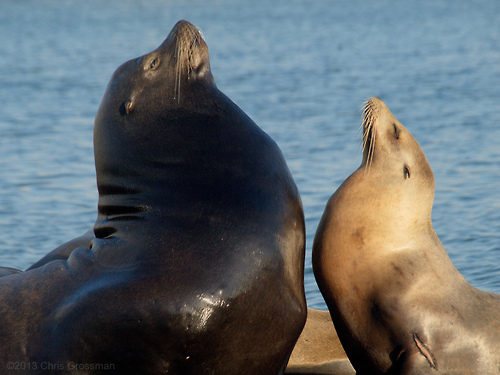What We Thought: Mating system of the California Sea Lion
