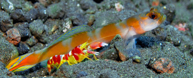 goby fish and shrimp relationship