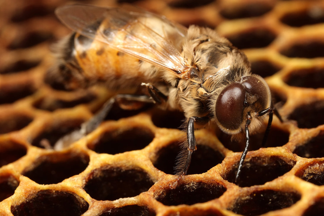 The drone is ... Bee drone: structural features, role in the bee colony 46