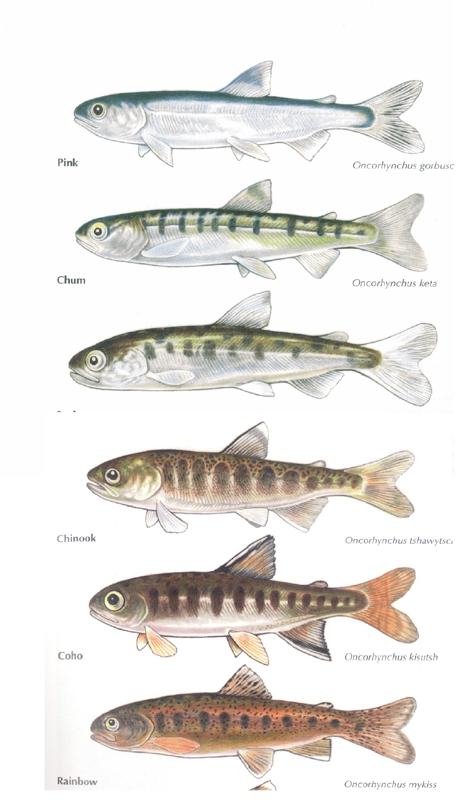 Chinook salmon smolt for How to fish for salmon