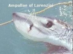 ampulla of lorenzini - 420×302