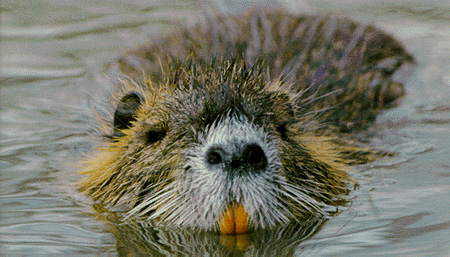 http://academic.reed.edu/biology/professors/srenn/pages/teaching/web_2007/kwmn_site/images/nutria.jpg