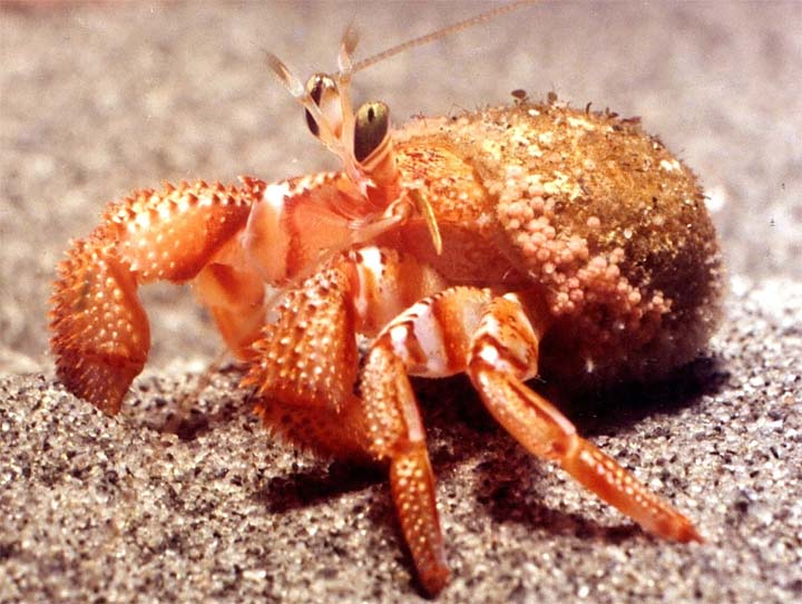 Hermit crab without shell - photo#49