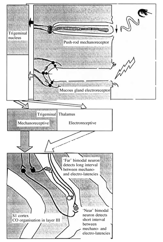 Platypus bill electroreceptors