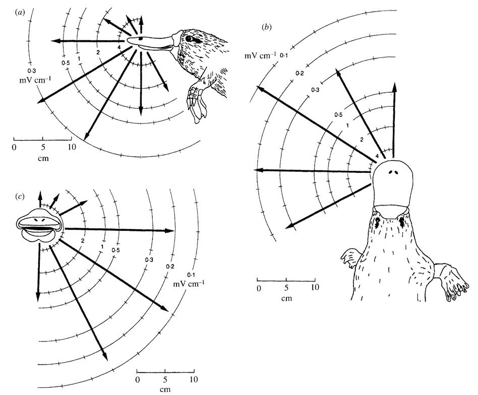 platypus electroreception