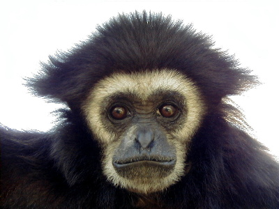 whitegibbon.jpg