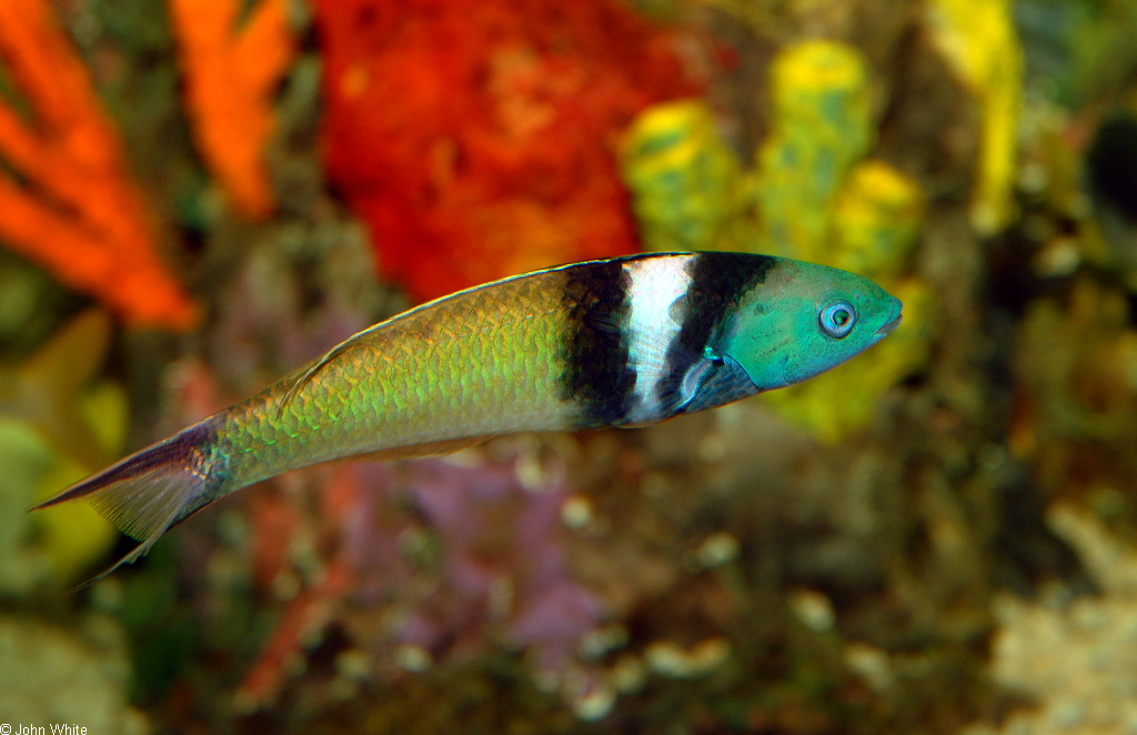 Sex Changes in the Bluehead Wrasse - Home