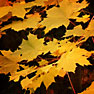 fall leaves picture