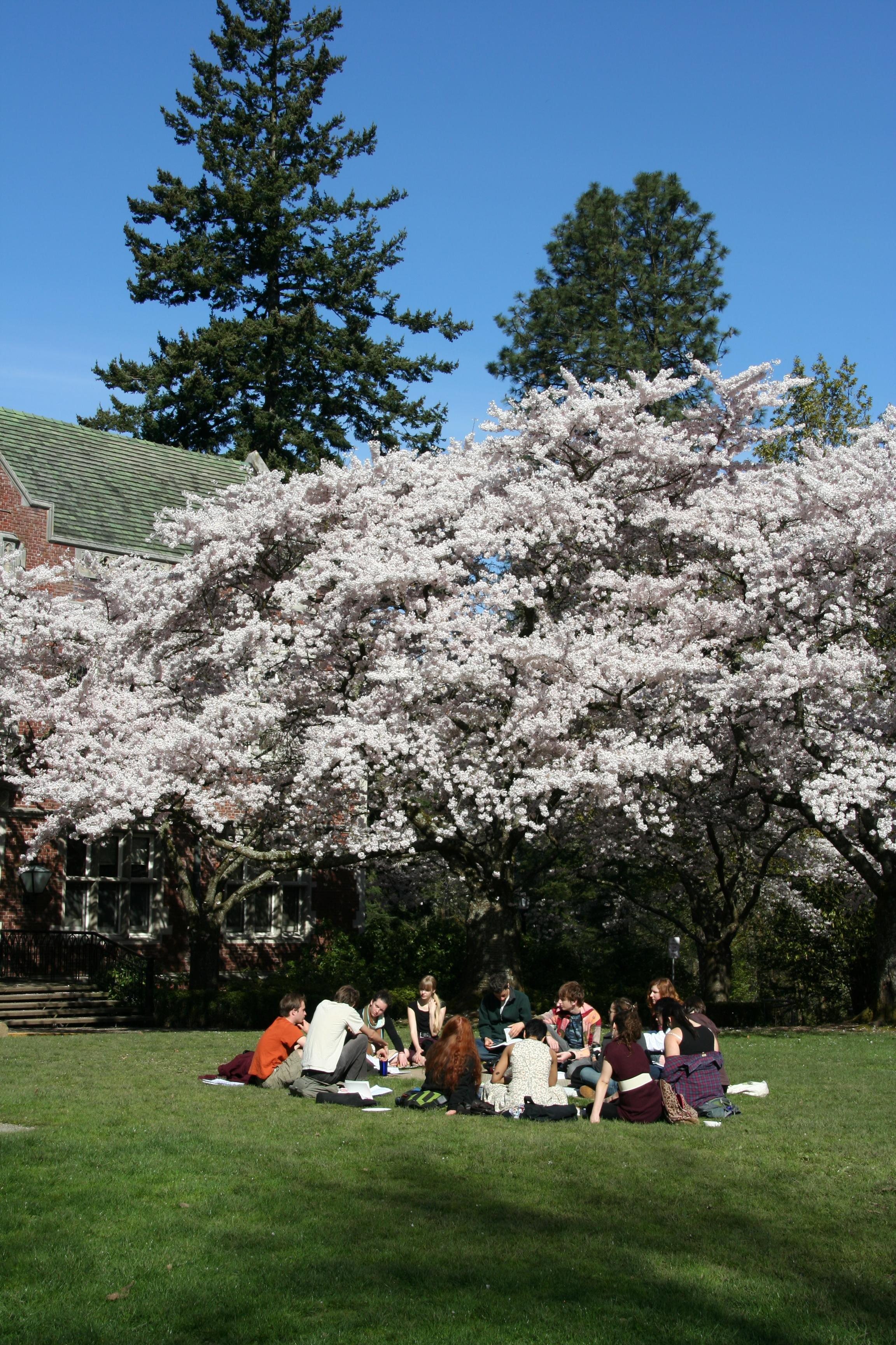 Students under Cherry Blossom trees in Eliot Circle
